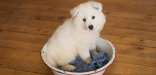 Samoyed puppy newborn photo session, Rochester NY pet photographer, Mischief and Laughs